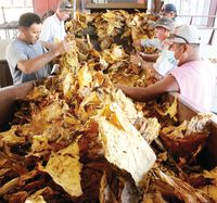 Joseph Gardner, second from left, joins workers in sorting through tobacco from curing barns at Gardner Family Farms in Wilson County.