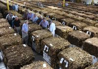Tobacco buyers walk along rows of bales at American Tobacco Exchange during Wilson's first secondary market auctions on Wednesday.
